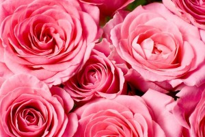 Pink roses heads closeup_600x400